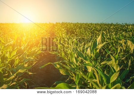 Summer day highlights the agricultural field which is growing in neat rows high green sweet corn.In the background the sun shines.The family of cereals and grain crops.