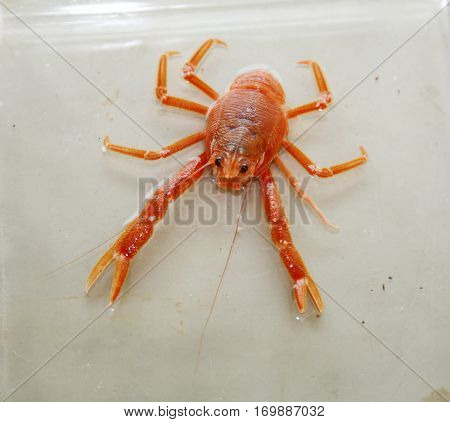 Pleuroncodes planipes aka Red Pelagic Crab. Live specimen of a Red Pelagic Crab in a Marine Biologist laboratory.   stock photo