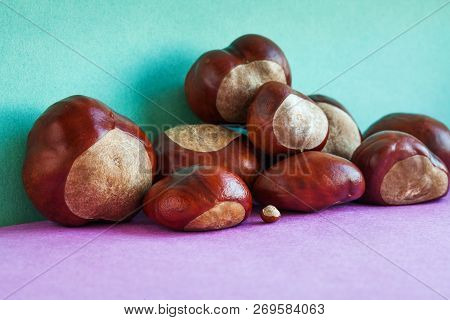 Horse chestnut seeds on purple green background. Autumn artistic still life with Aesculus hippocastanumon ripe Buckeye fruits. copy space stock photo