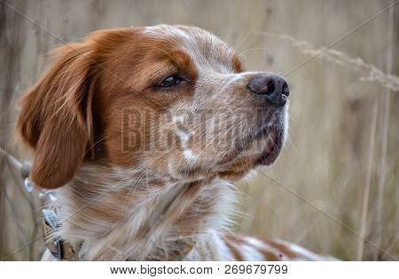 Beautiful dog. Portrait of hunting dog Epagneul Breton. Brittany Spaniel. Hunting season time. stock photo