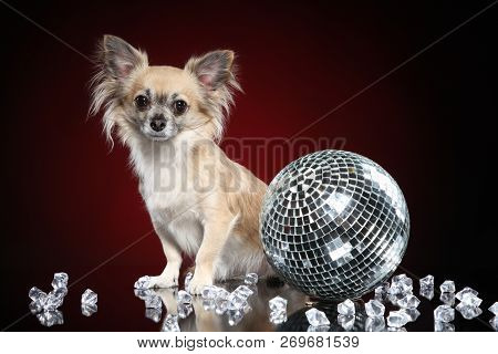 Chihuahua dog with discoball on dark red background stock photo