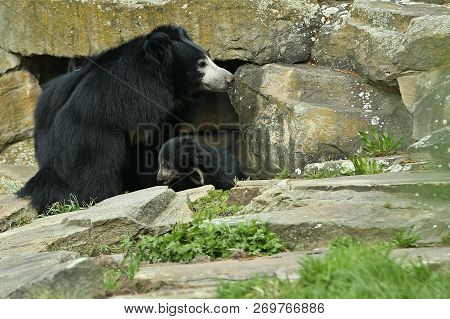 Big beautiful sloth bear with baby in captivity. Wild animals in the nature looking habitat. stock photo