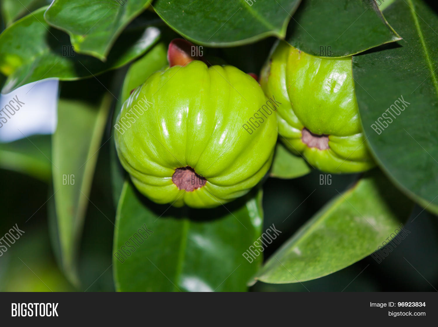 Garcinia Cambogia Hanging From A Tree In An Orchard Thai Herb