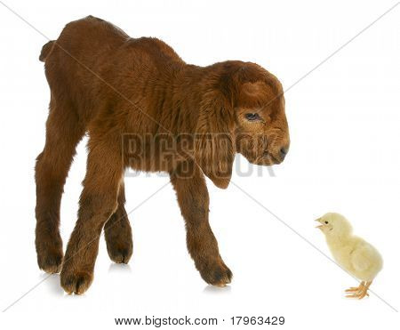 newborn goat being told off by day old chick on white background stock photo