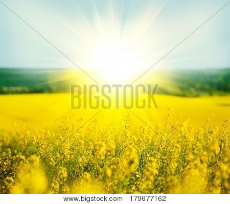 Rapeseed field, Blooming canola flowers close up. Rape on the field in summer. Bright Yellow rapeseed oil. Flowering rapeseed stock photo