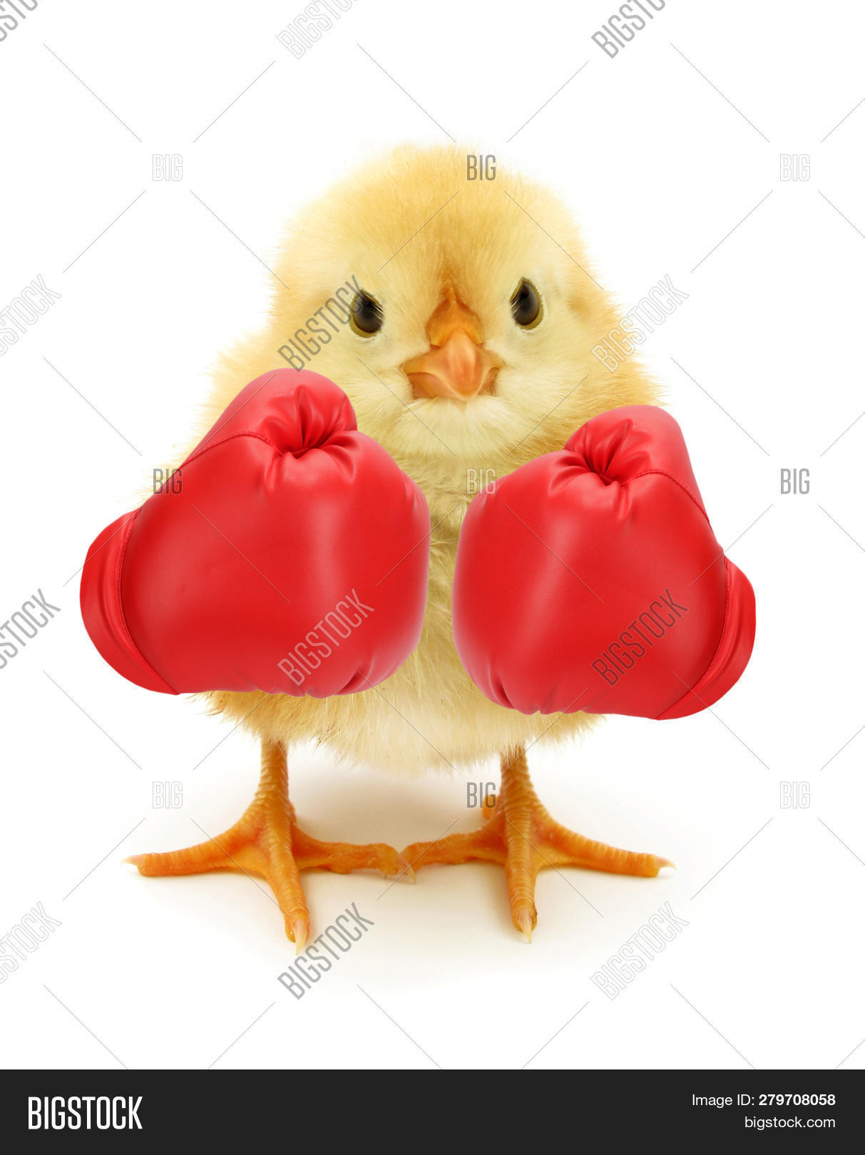 aggressive,angry,animal,baby animal,baby animals,baby bird,background,bird,boxer,boxing,champion,chick,chicken,competitive,concept,crazy,crazy chick,crazy chicken,cut out,cute,fight,fluffy,fun,funny,genetically,gmo chick,gmo chicken,hilarious,humor,idea,isolated,joke,little,lunatic,mad,modified,newborn,on white,poster,red,small,sport,strength,struggle,surprise,unusual,vertical,white,white background,yellow