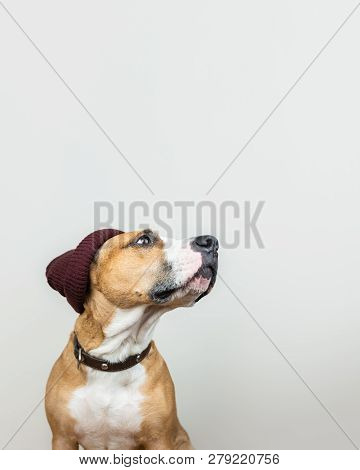 Funny dog in red hipster knit hat. Staffordshire terrier looks up at copy space, winter accessories or seasonal concept stock photo