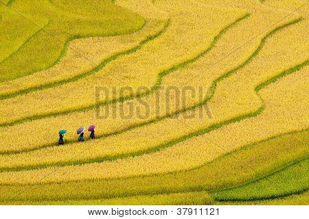 Trois femmes visitez leurs rizières en mu cang chai, yen bai, vietnam