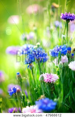 Bleuets. fleurs bleues sauvages fleurissant. image du gros plan. flou artistique