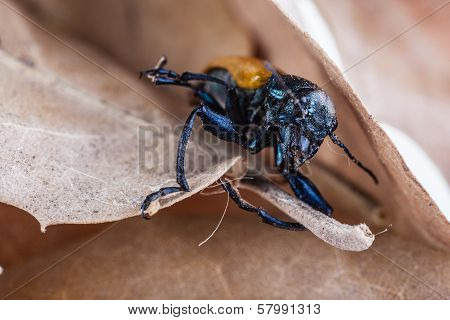 Macro shot of an Omophlus lepturoides also known as comb-clawed beetle stock photo