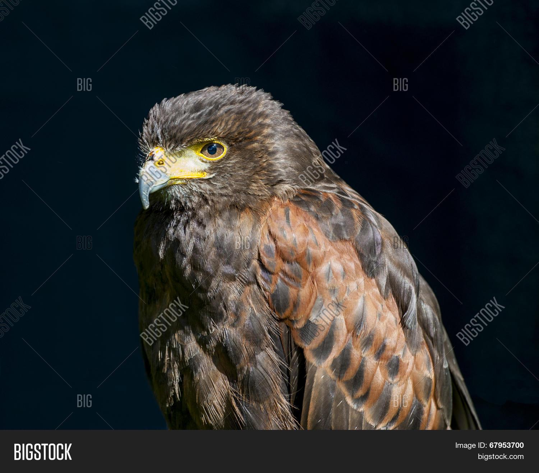 beak,bill,bird,captive,captivity,carnivore,circinae,closeup,detail,eye,falcon,falconry,feather,harrier,hawk,head,nature,ornithology,predator,prey,raptor,vertebrate,wild,wildlife,wing