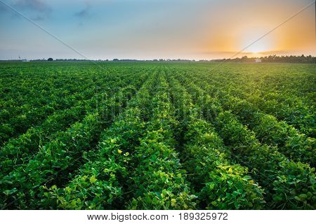 Green bean crop field on the farm before the harvest at sunset time. Agricultural industry farm groving genetically modefided food on field.