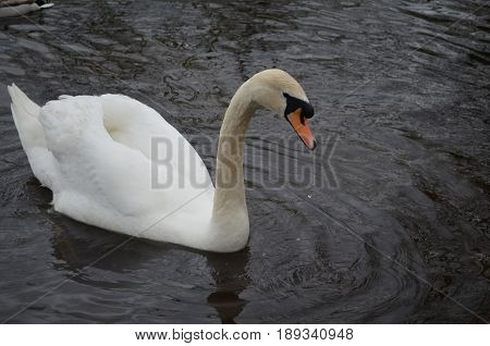 Gorgeous white swan with water dripping from it's beak. stock photo
