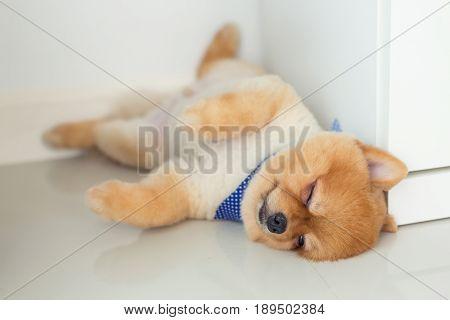 Pomeranian Puppy Dog Sleeping In Home