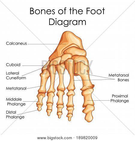 Medical Education Chart of Biology for Bones of Foot Diagram. Vector illustration stock photo
