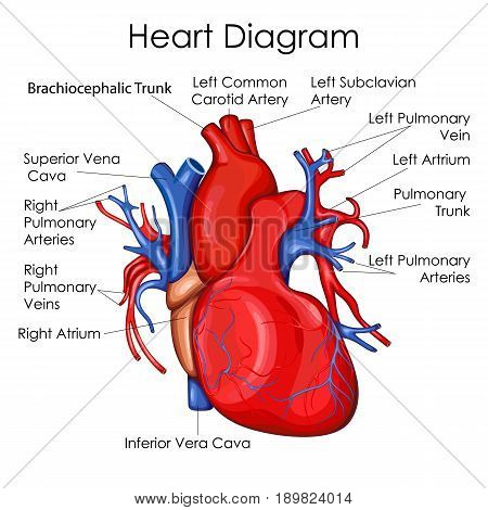 Medical Education Chart of Biology for Heart Diagram. Vector illustration stock photo