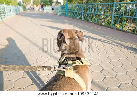 Staffordshire terrier dog pulls on a leash from owners perspective. Dog owners point of view of his untrained pet dog pulling forward at walk outdoors stock photo