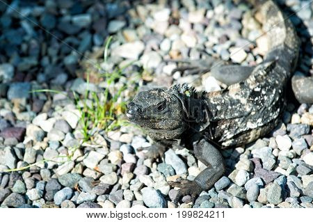 Iguana lizard sitting on grey stones in Honduras on sunny day on natural background. Wildlife wild animals and nature concept stock photo