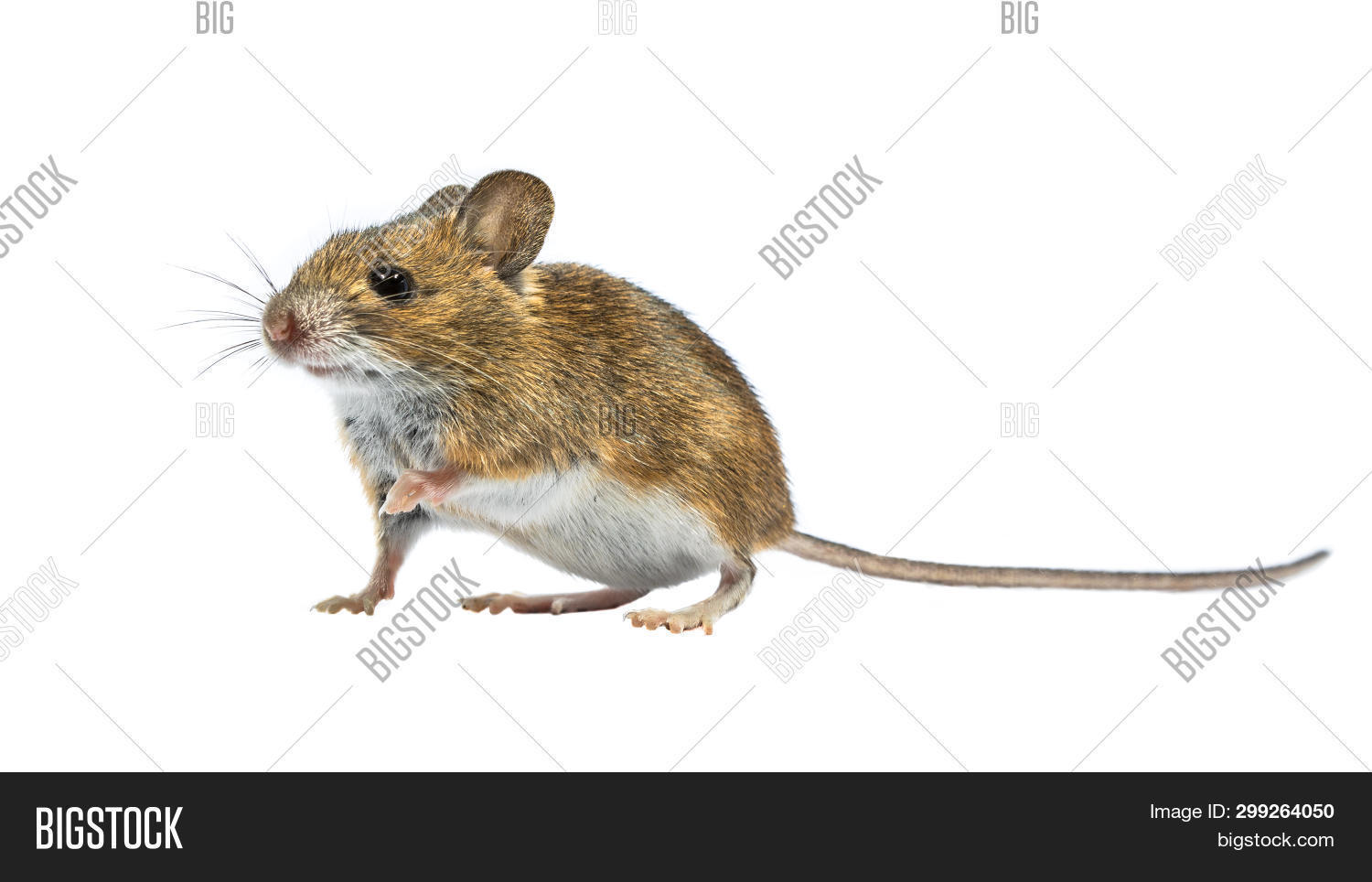 action,activity,adorable,animal,apodemus,at,baby,background,beautiful,camera,charming,clipping,concept,contact,curious,cute,europe,european,eye,face,field,funny,hamster,head,isolated,little,looking,mammal,mice,mous,mouse,nature,path,pest,pet,portrait,rat,rodent,small,sylvaticus,whiskers,white,wood