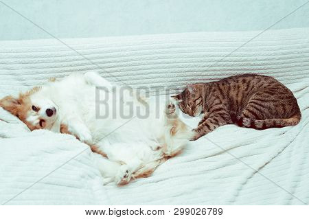 Dog Is Lying On The Bed On His Back. Next To Sleep A Cat. Concept Cat And Dog