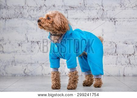 Small funny dog of brown color with curly hair of toy poodle breed posing in clothes for dogs. Subject accessories and fashionable outfits for pets. Stylish overalls, suit for cold weather for animal stock photo