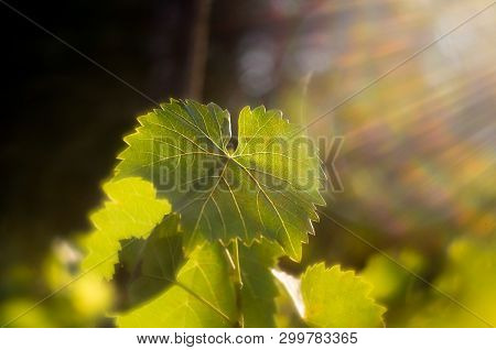 Vine leaves in autumn. Vine leaves lit by the setting sun. Green leaves lit by soft sunlight. Wine vineyards shining from the sun. Backdrop of green objects.. Vineyard lit by the sun. stock photo