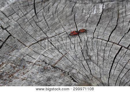 Two red bugs firebugs, red soldier bugs, Spilostethus pandurus, cotton dyes, Pyrrhocoridae mating on an old wooden stump. Black and red colored insects mating on a cracked wooden surface. stock photo
