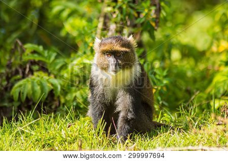 Monkey Sykes Cercopithecus frontalis sitting on the grass in Aberdare National Park Kenya Africa stock photo