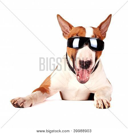 Cheerful Bull Terrier In Sunglasses