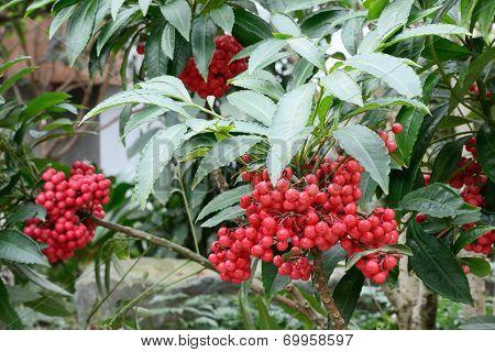 closeup of red berry of ardisia crenata stock photo