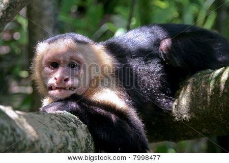 old and ugly capucin monkey but the chief of the tribe stock photo